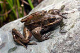 Northern Red-legged Frog 2