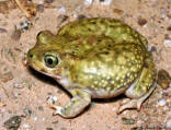 Couch's Spadefoot calls 1