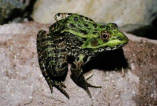 Chiricahua Leopard Frog calling in captivity