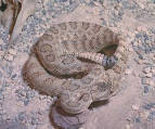 Great Basin Rattlesnake 1