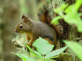 Douglas's Squirrel 1