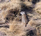 Belding's Ground Squirrel 1